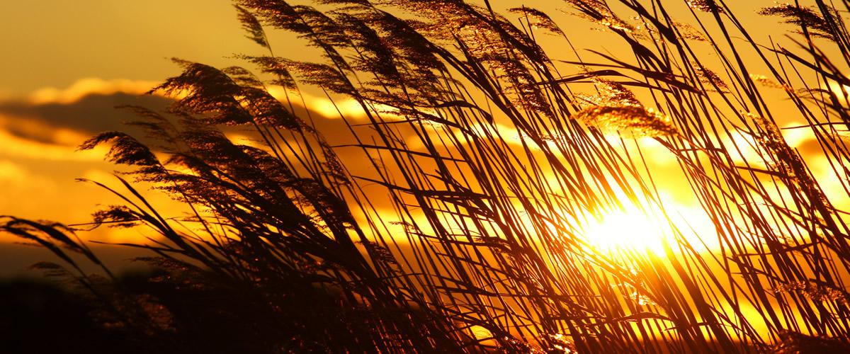 ススキ越しの夕陽